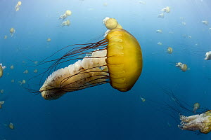 Pacific Sea Nettle (Chrysaora fuscescens) group, Carmel, Monterey Bay, California  -  Richard Herrmann