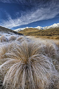 Tussock Grass (Poa flabellata) covered in frost with Torlesse Range behind, Castle Hill Basin, Canterbury, New Zealand  -  Colin Monteath