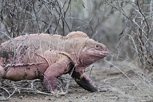 Galapagos Pink Land Iguana (Conolophus marthae) new species described in 2009, confined to highest volcano, Isabella Island, Galapagos Islands, Ecuador - Tui De Roy
