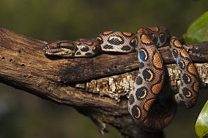 Rainbow Boa (Epicrates cenchria cenchria) coiled around branch, native to Central and South America  -  Pete Oxford