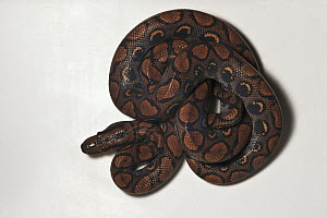Rainbow Boa (Epicrates cenchria cenchria), native to Central and South America  -  Pete Oxford