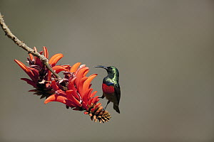 Greater Double-collared Sunbird (Nectarinia afra) male on flower, Itala Game Reserve, South Africa - Richard Du Toit