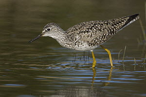 Lesser Yellowlegs (Tringa flavipes) foraging, Alaska  -  Michael Quinton