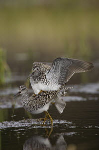 Lesser Yellowlegs (Tringa flavipes) pair mating, Alaska  -  Michael Quinton