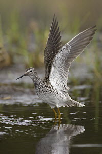 Lesser Yellowlegs (Tringa flavipes) stretching wings, Alaska  -  Michael Quinton
