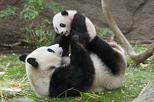 Giant Panda (Ailuropoda melanoleuca) mother and cub playing, native to China  -  ZSSD