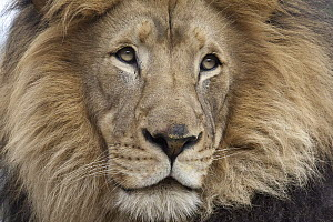 African Lion (Panthera leo) male, native to Africa  -  ZSSD