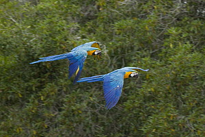 Blue and Yellow Macaw (Ara ararauna) pair flying, native to South America  -  ZSSD