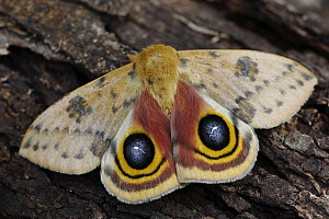 Io Moth (Automeris io) male on tree trunk showing false eyespots, southern Texas - Cyril Ruoso