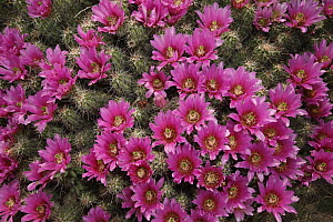 Strawberry Cactus (Echinocereus enneacanthus) blooming, southern Texas  -  Cyril Ruoso
