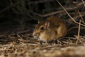 Hispid Pocket Mouse (Chaetodipus hispidus) with filled cheek pouches, southern Texas - Cyril Ruoso