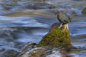 American Dipper (Cinclus mexicanus) eating insect while standing on rock in swift moving creek, northwest Montana  -  Donald M. Jones