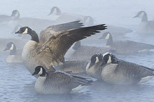 Canada Goose (Branta canadensis) resting during sub-zero weather on Missouri River, central Montana  -  Donald M. Jones