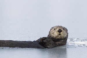 Sea Otter (Enhydra lutris) in thinly iced water, Prince William Sound, Alaska  -  Donald M. Jones