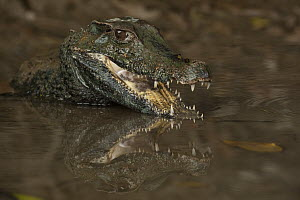 Schneider's Dwarf Caiman (Paleosuchus trigonatus) threat display, Rewa River, Guyana  -  Pete Oxford