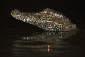 Schneider's Dwarf Caiman (Paleosuchus trigonatus) at night, Rewa River, Guyana  -  Pete Oxford
