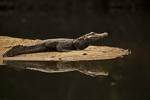 Schneider's Dwarf Caiman (Paleosuchus trigonatus) on riverbank, Rewa River, Guyana  -  Pete Oxford