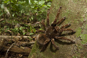 Goliath Bird-eating Spider (Theraphosa blondi) on tree trunk, Rewa River, Guyana - Pete Oxford