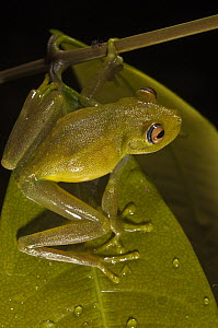 Demerara Falls Tree Frog (Hypsiboas cinerascens), Iwokrama Rainforest Reserve, Guyana  -  Pete Oxford