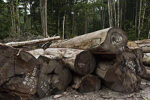 Cut timber in low impact logging industry in rainforest, Iwokrama Rainforest Reserve, Guyana  -  Pete Oxford