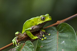 Giant Monkey Frog (Phyllomedusa bicolor), Iwokrama Rainforest Reserve, Guyana  -  Pete Oxford