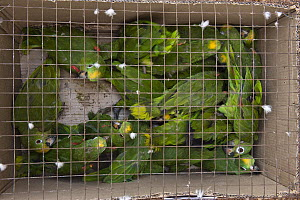 Yellow-crowned Parrot (Amazona ochrocephala) group for pet trade on flight to Georgetown, Guyana  -  Pete Oxford