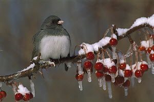 Dark-eyed Junco (Junco hyemalis) on branch with frozen berries, North America  -  Steve Gettle