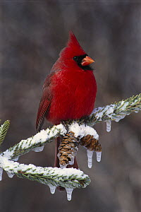 Northern Cardinal (Cardinalis cardinalis) male, Brighton, Michigan - Steve Gettle