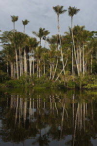 Bactris Palm (Bactris sp) group in flooded igapo forest, Cocaya River, eastern Amazon, Ecuador  -  Pete Oxford