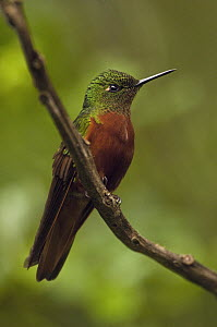 Chestnut-breasted Coronet (Boissonneaua matthewsii) hummingbird, western slope of Andes, Ecuador  -  Pete Oxford