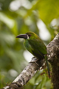 Crimson-rumped Toucanet (Aulacorhynchus haematopygus), Mindo Cloud Forest, western slope of Andes, Ecuador  -  Pete Oxford