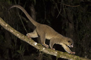 Kinkajou (Potos flavus) climbing down vine, Mindo Cloud Forest, western slope of Andes, Ecuador - Pete Oxford