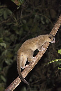 Kinkajou (Potos flavus) climbing up vine, Mindo Cloud Forest, western slope of Andes, Ecuador - Pete Oxford