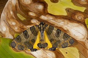 Polka Dot Moth (Pantherodes pardalaria), Mindo Cloud Forest, western slope of Andes, Ecuador - Pete Oxford