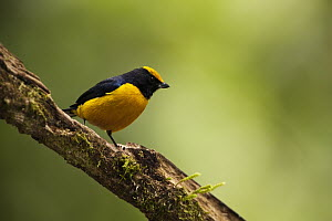 Orange-bellied Euphonia (Euphonia xanthogaster) male, Mindo Cloud Forest, western slope of Andes, Ecuador  -  Pete Oxford