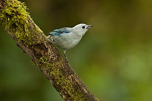 Blue-gray Tanager (Thraupis episcopus), Mindo Cloud Forest, western slope of Andes, Ecuador  -  Pete Oxford
