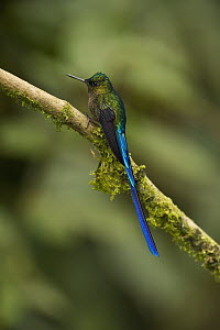Violet-tailed Sylph (Aglaiocercus coelestis) male, Mindo Cloud Forest, western slope of Andes, Ecuador  -  Pete Oxford