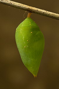 Morpho Butterfly (Morpho achilles) chrysalis, Napo River, Yasuni National Park, Amazon, Ecuador  -  Pete Oxford