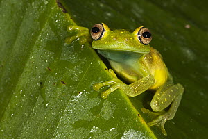 Demerara Falls Tree Frog (Hypsiboas cinerascens), Napo River, Yasuni National Park, Amazon, Ecuador  -  Pete Oxford