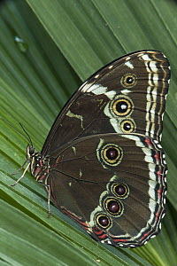 Morpho Butterfly (Morpho achilles), Napo River, Yasuni National Park, Amazon, Ecuador  -  Pete Oxford