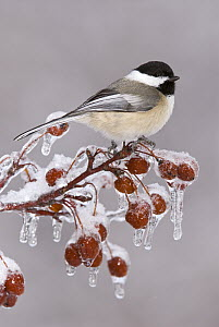 Black-capped Chickadee (Poecile atricapillus), Huron Meadows Metropark, Michigan  -  Steve Gettle