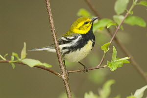Black-throated Green Warbler (Setophaga virens) male, Crane Creek State Park, Ohio  -  Steve Gettle
