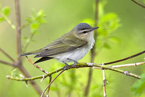 Red-eyed Vireo (Vireo olivaceus), Crane Creek State Park, Ohio  -  Steve Gettle