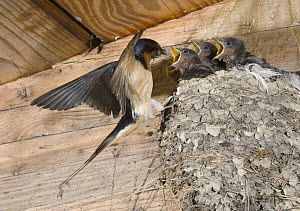 Barn Swallow (Hirundo Rustica) feeding, Michigan - Steve Gettle