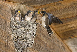 Barn Swallow (Hirundo Rustica) feeding chicks in nest, Michigan - Steve Gettle