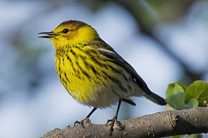 Cape May Warbler (Setophaga tigrina) male calling, Crane Creek State Park, Ohio - Steve Gettle