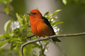 Scarlet Tanager (Piranga olivacea) male, Huron Meadows Metropark, Michigan - Steve Gettle