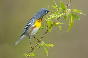 Northern Parula (Setophaga americana) male, Crane Creek State Park, Ohio  -  Steve Gettle