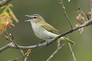 Red-eyed Vireo (Vireo olivaceus) calling, Rifle River Recreation Area, Michigan  -  Steve Gettle