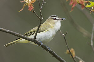 Red-eyed Vireo (Vireo olivaceus), Rifle River Recreation Area, Michigan  -  Steve Gettle